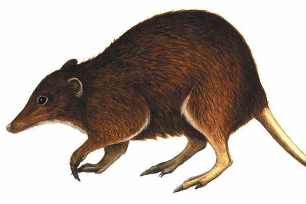 Australia's extinct mammal, the Riversleigh Tube-nosed Bandicoot