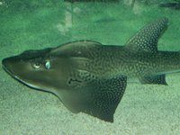 Shark Ray, Rhina ancylostoma