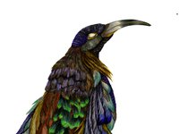 Black Sicklebill illustration by Silke Raetze
