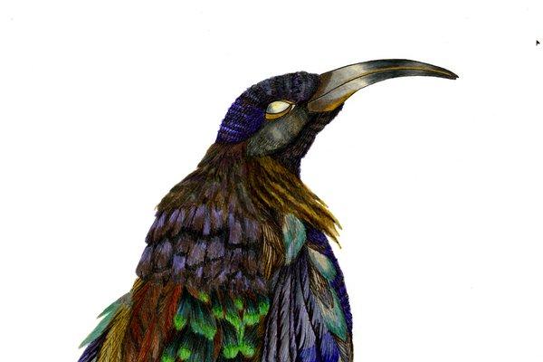 Black Sicklebill illustration by Silke Raetze