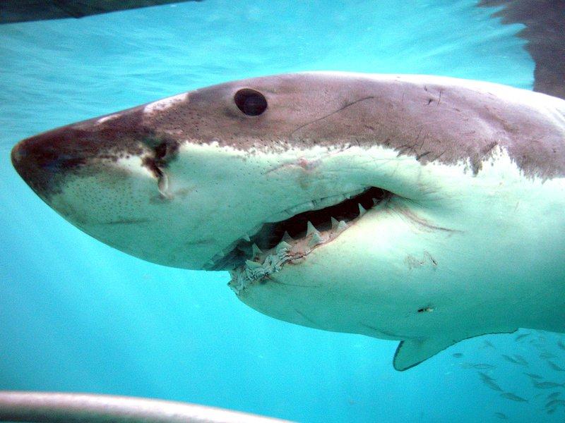 White Shark, <i>Carcharodon carcharias</i>