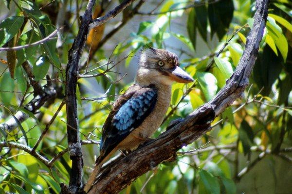 Blue-winged Kookaburra, Dacelo leachii