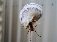 Spider in shell