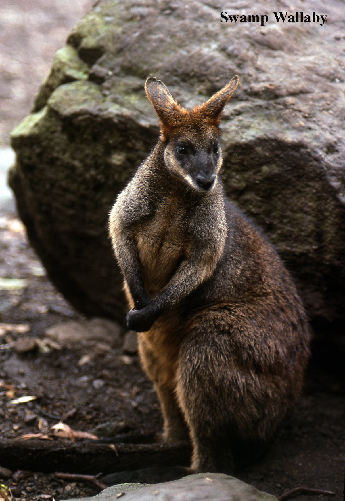 Swamp Wallaby The Australian Museum