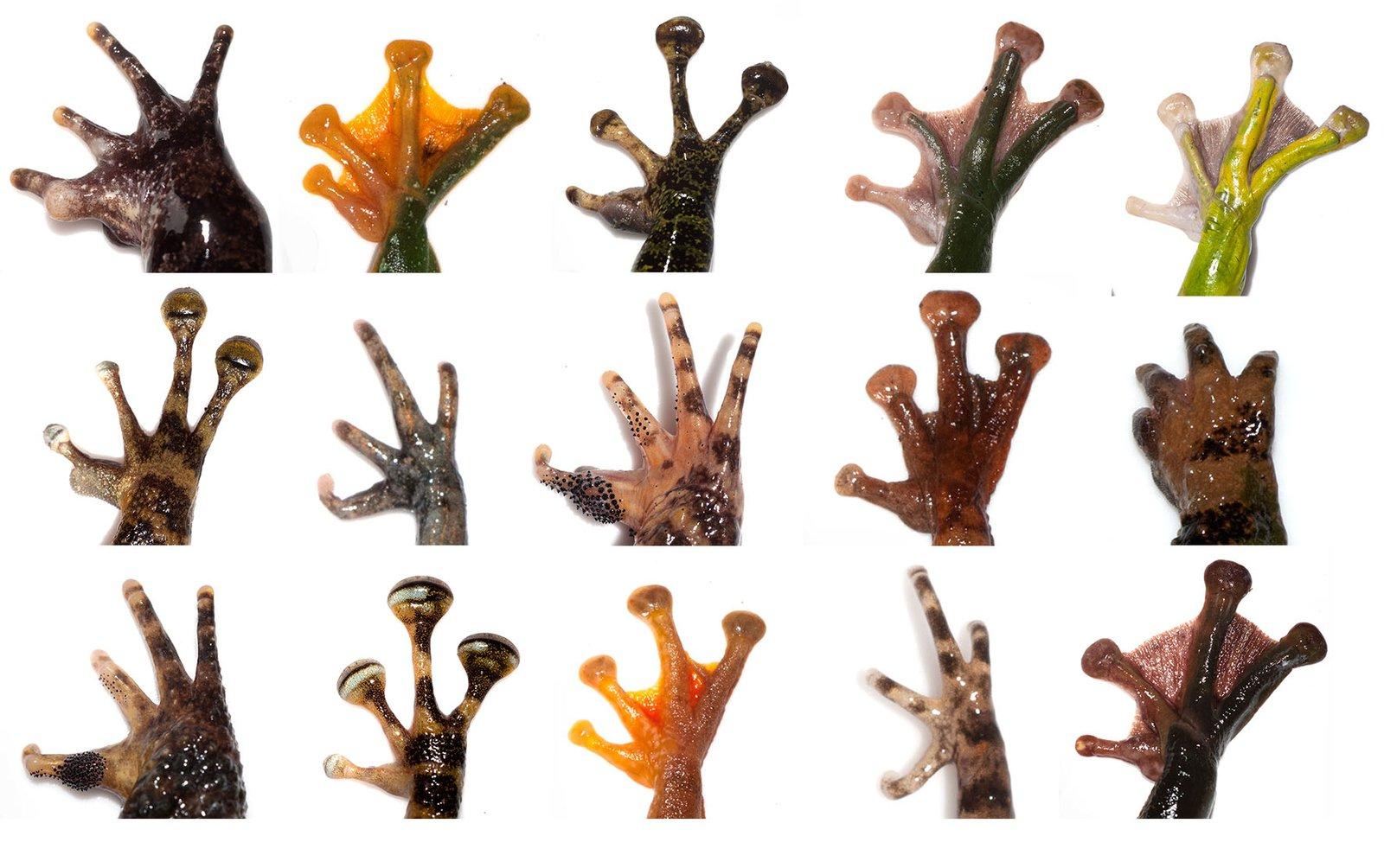 Frog Hands