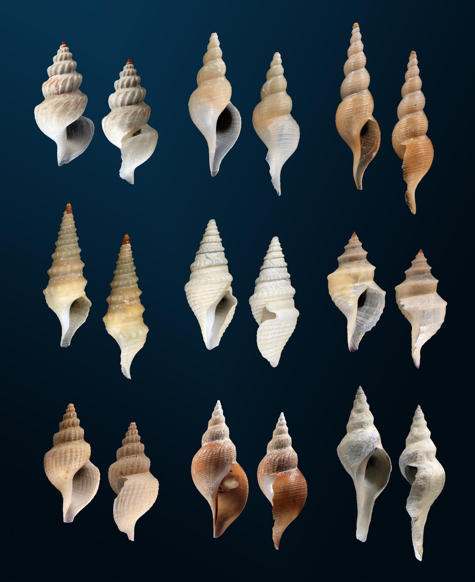 Plate showing shells of Turrid snails