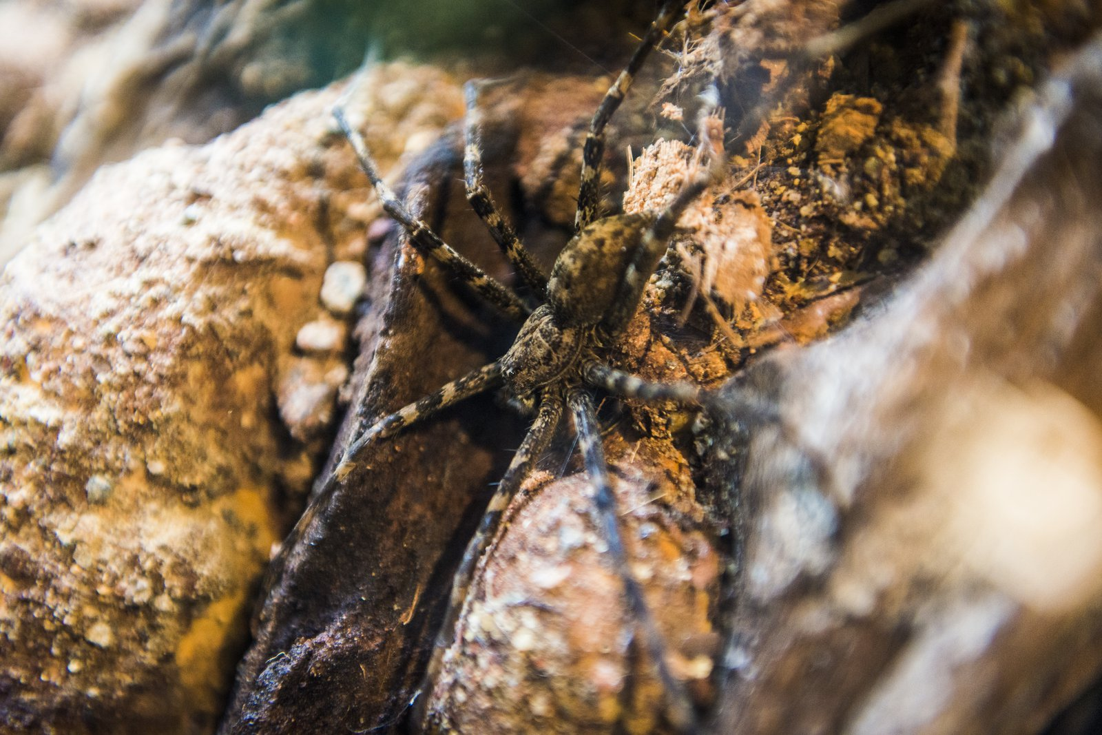 Giant Water spider