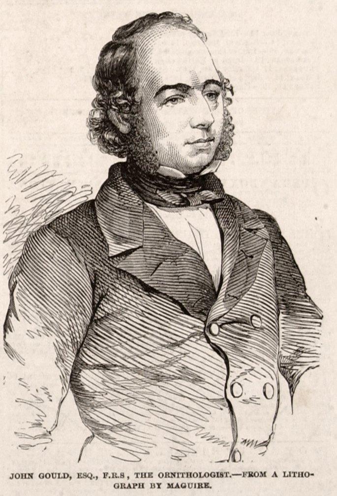 John Gould Illustration