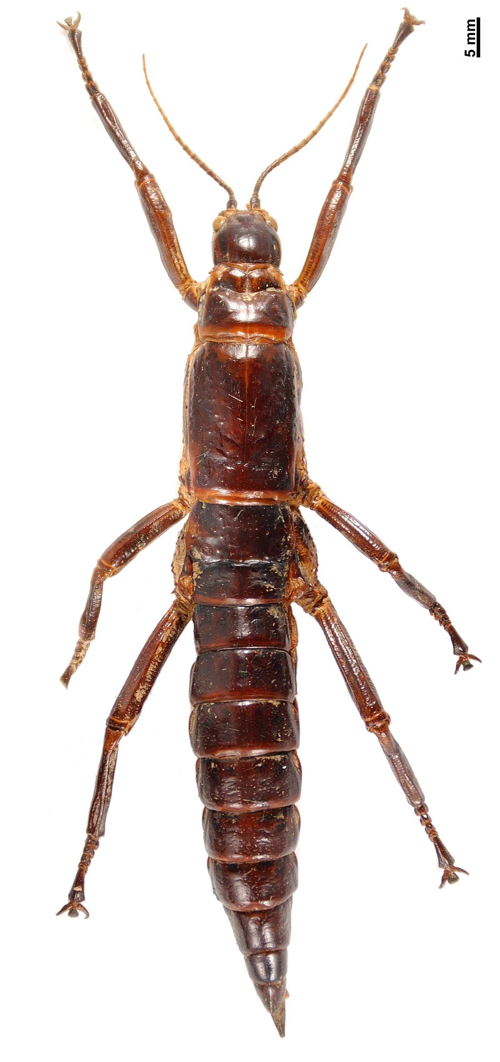 Dryococelus australis