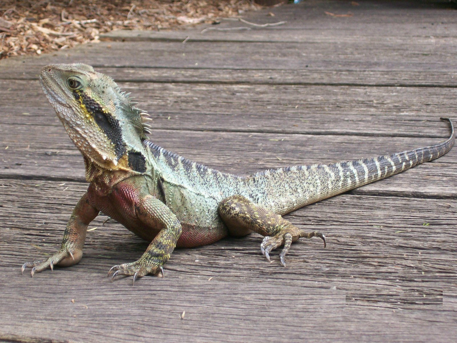 Male Eastern Water Dragon, Intellagama lesueurii lesueurii