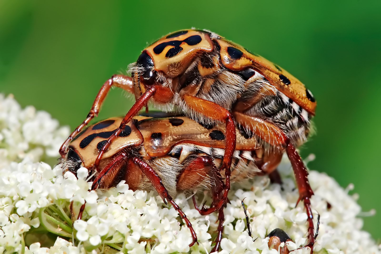 Spotted Flower Chafer, Polystigma punctata, Scarabaeidae