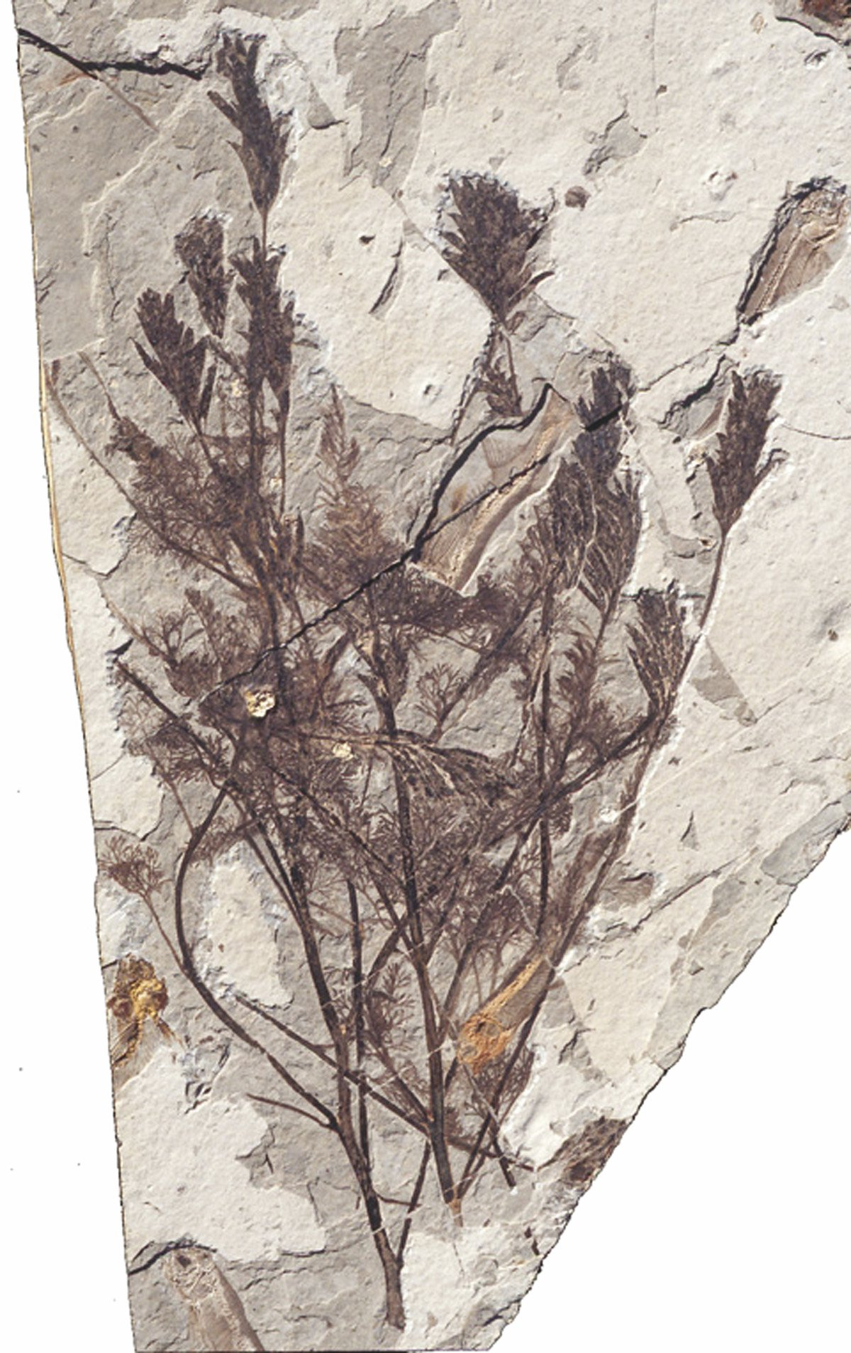 Archaefructus liaoningensis fossil