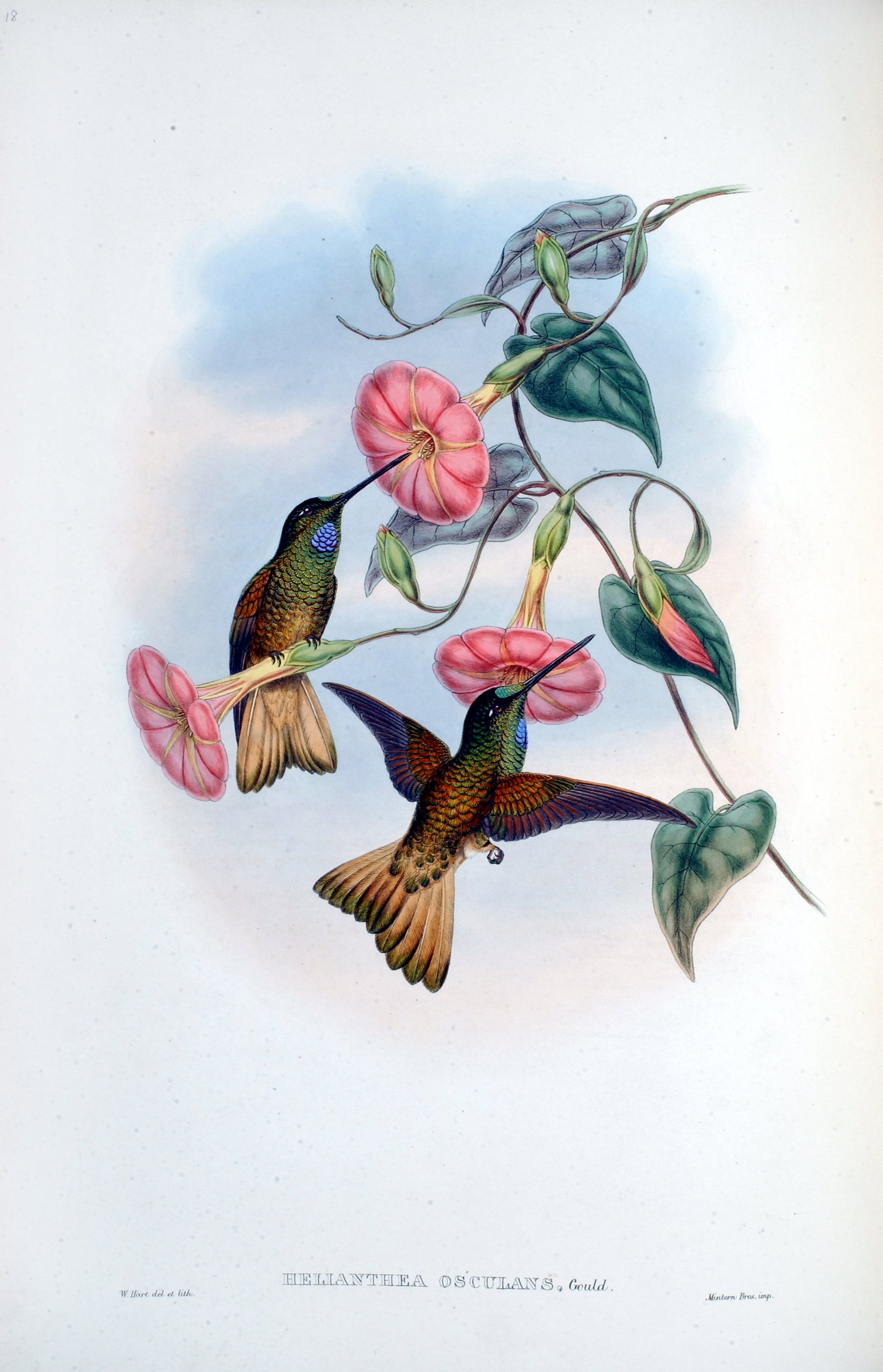 A monograph of the Trochilidae or family of hummingbirds. Supple