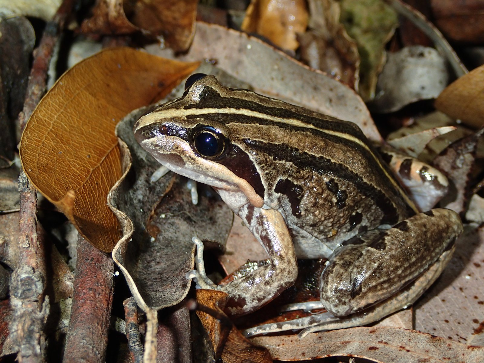 Striped Marsh Frog (Limnodynastes peronii)