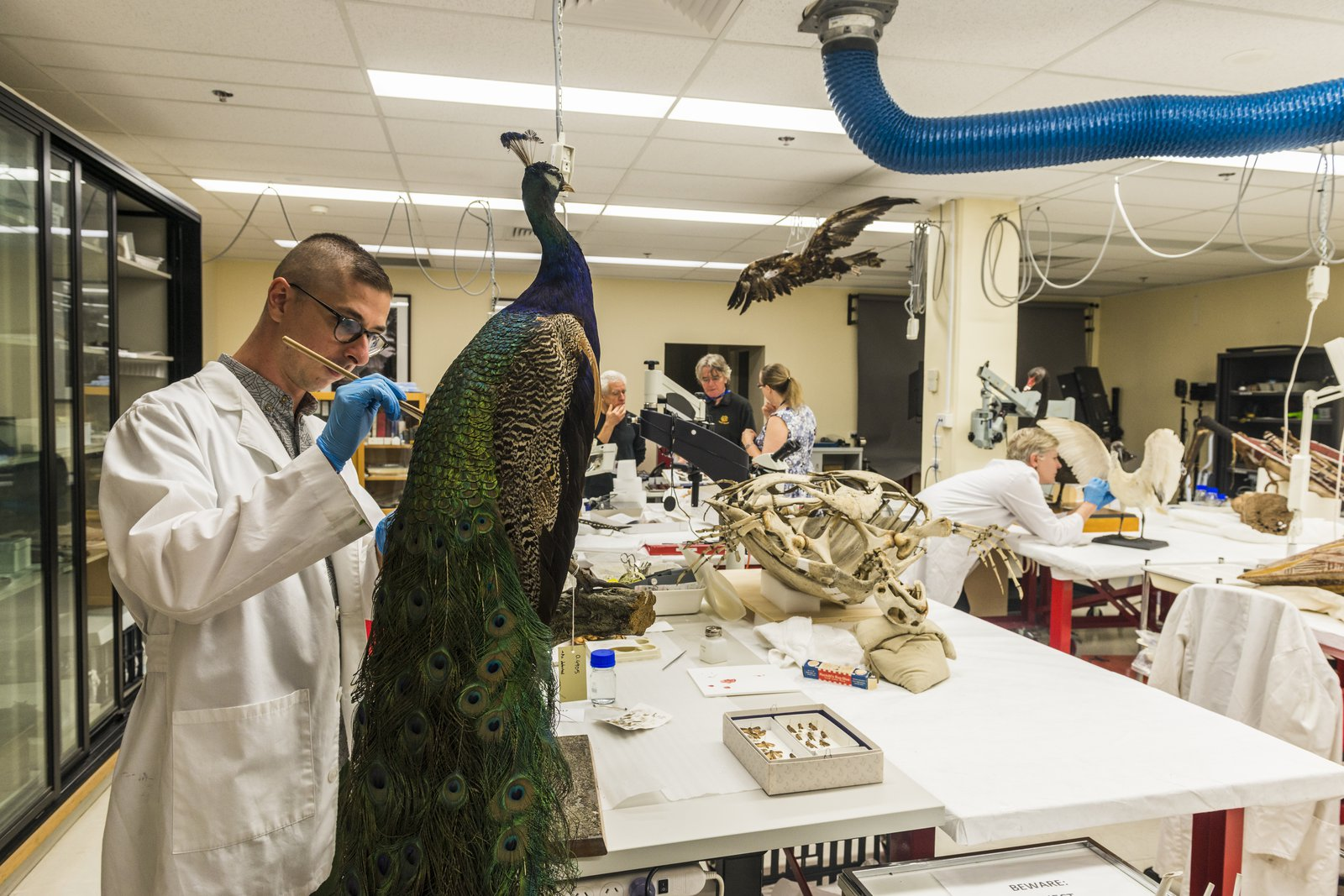 Material Conservation of Peacock specimen