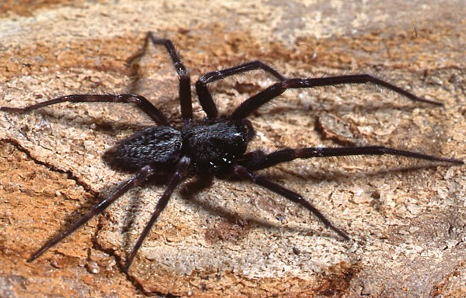 Black House Spider Male