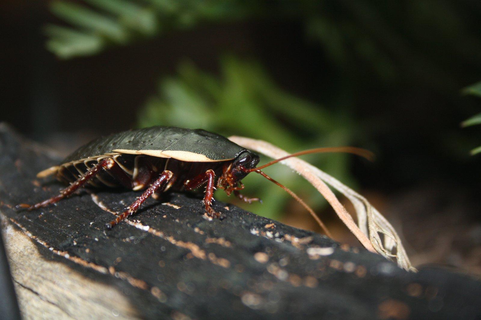 Botany Bay Cockroach, Polyzosteria limbata.