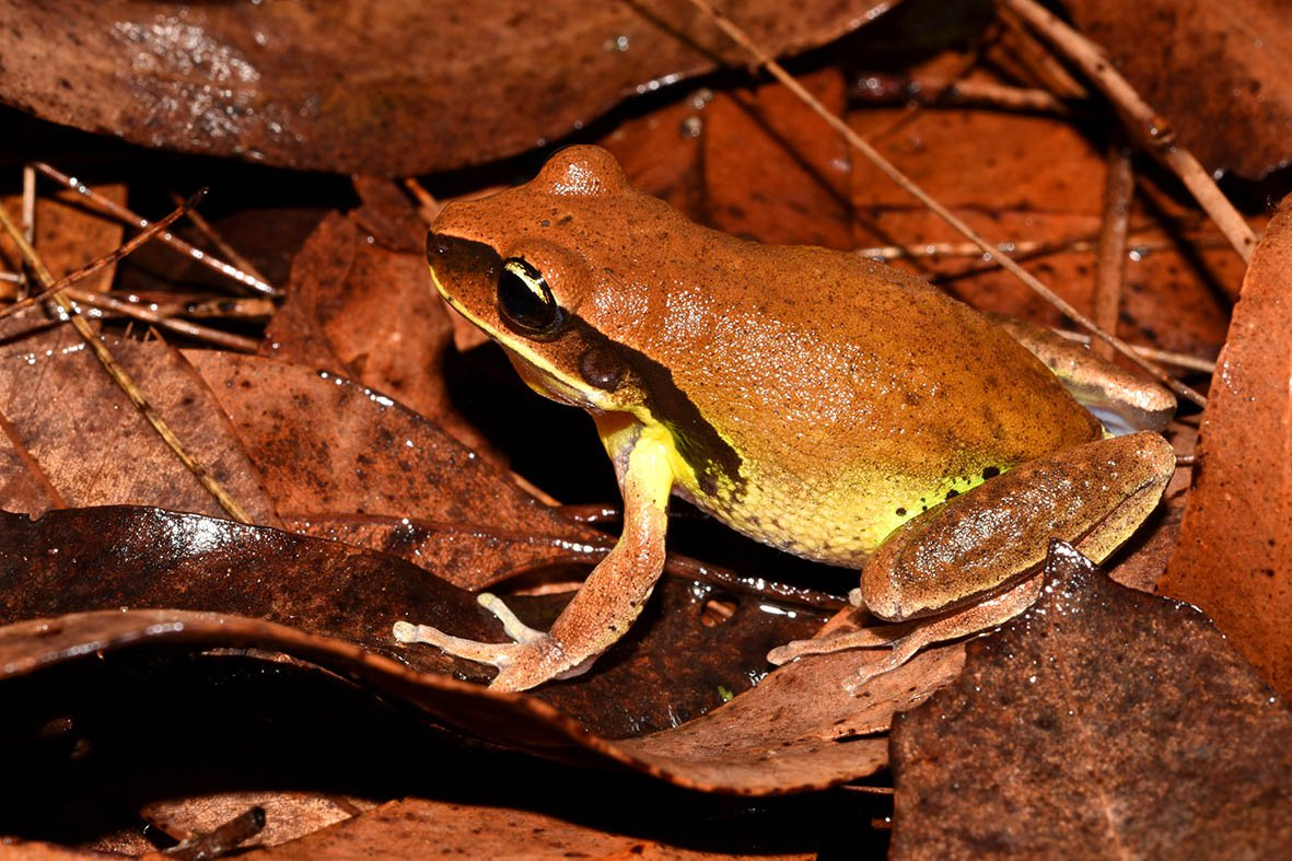 Litoria brevipalmata, Richmond Range NP