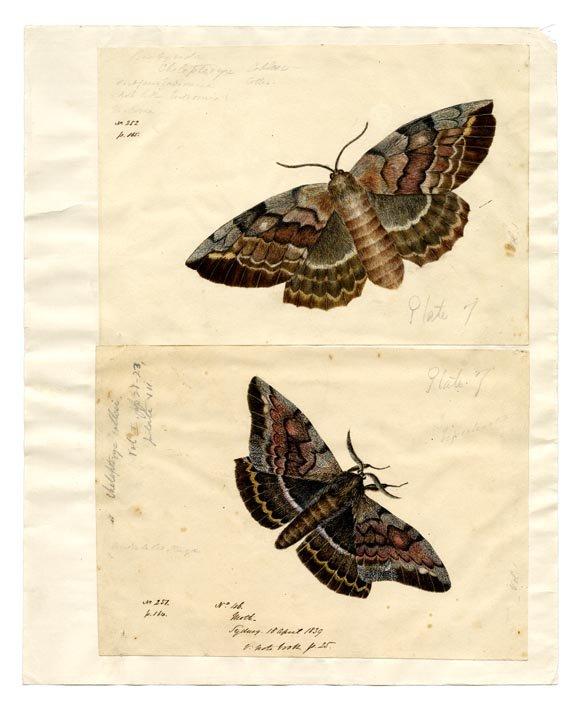 Chelepteryx collesi Gray