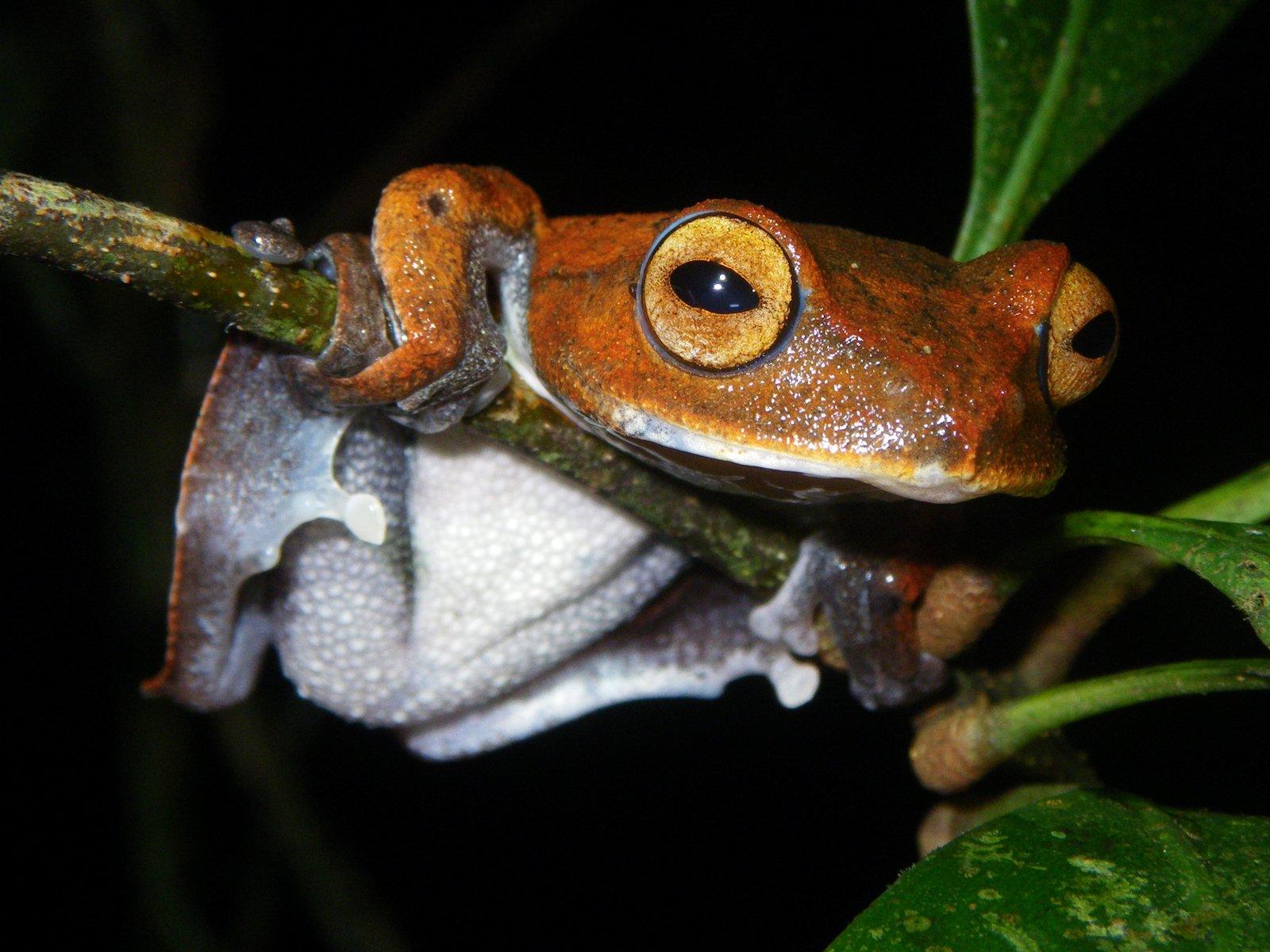 Vampire Flying Frog, <i>Rhacophorus vampyrus</i>