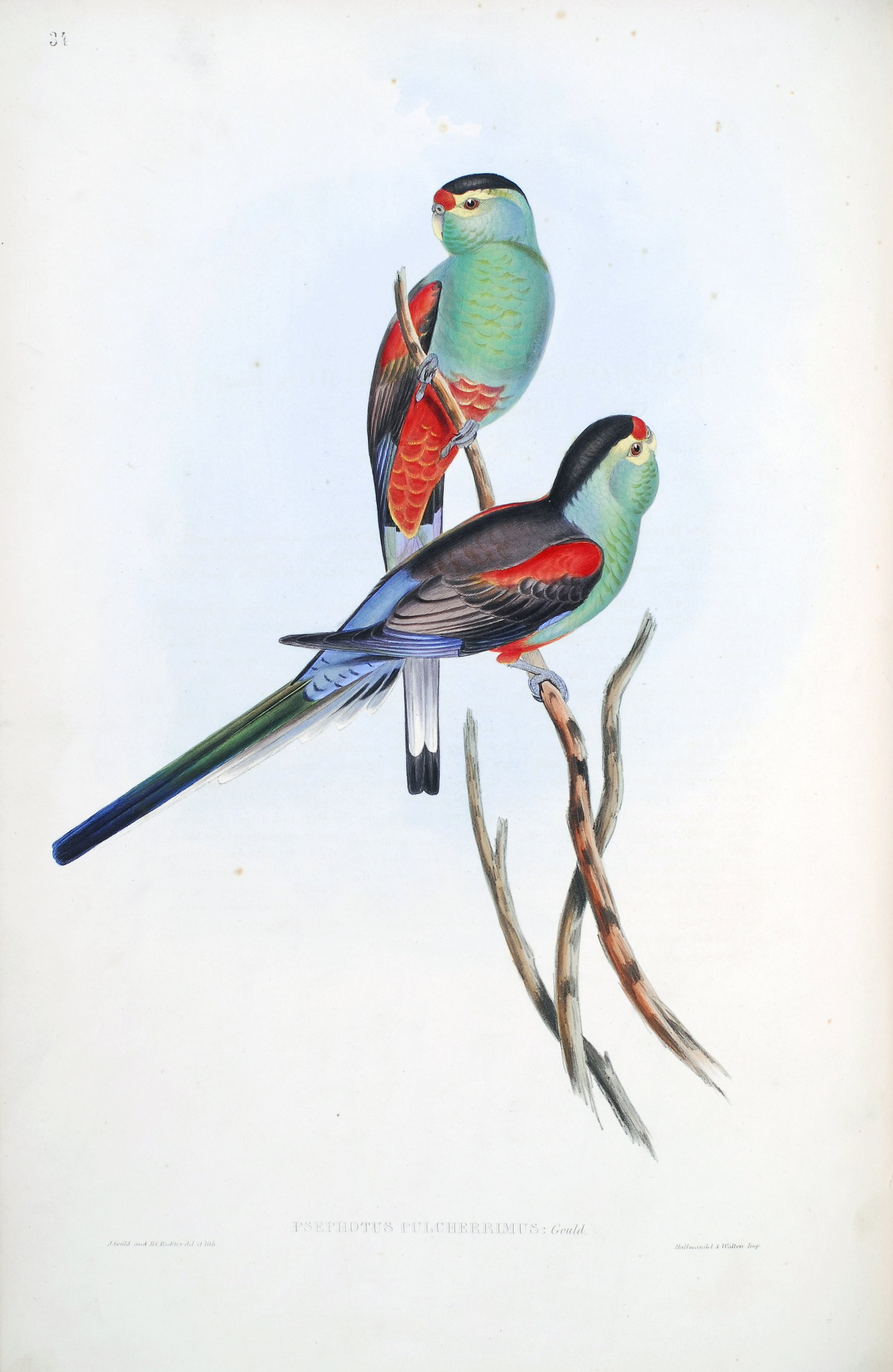 """""""Beautiful parakeet"""" The Birds of Australia : in seven volumes / by John Gould."""
