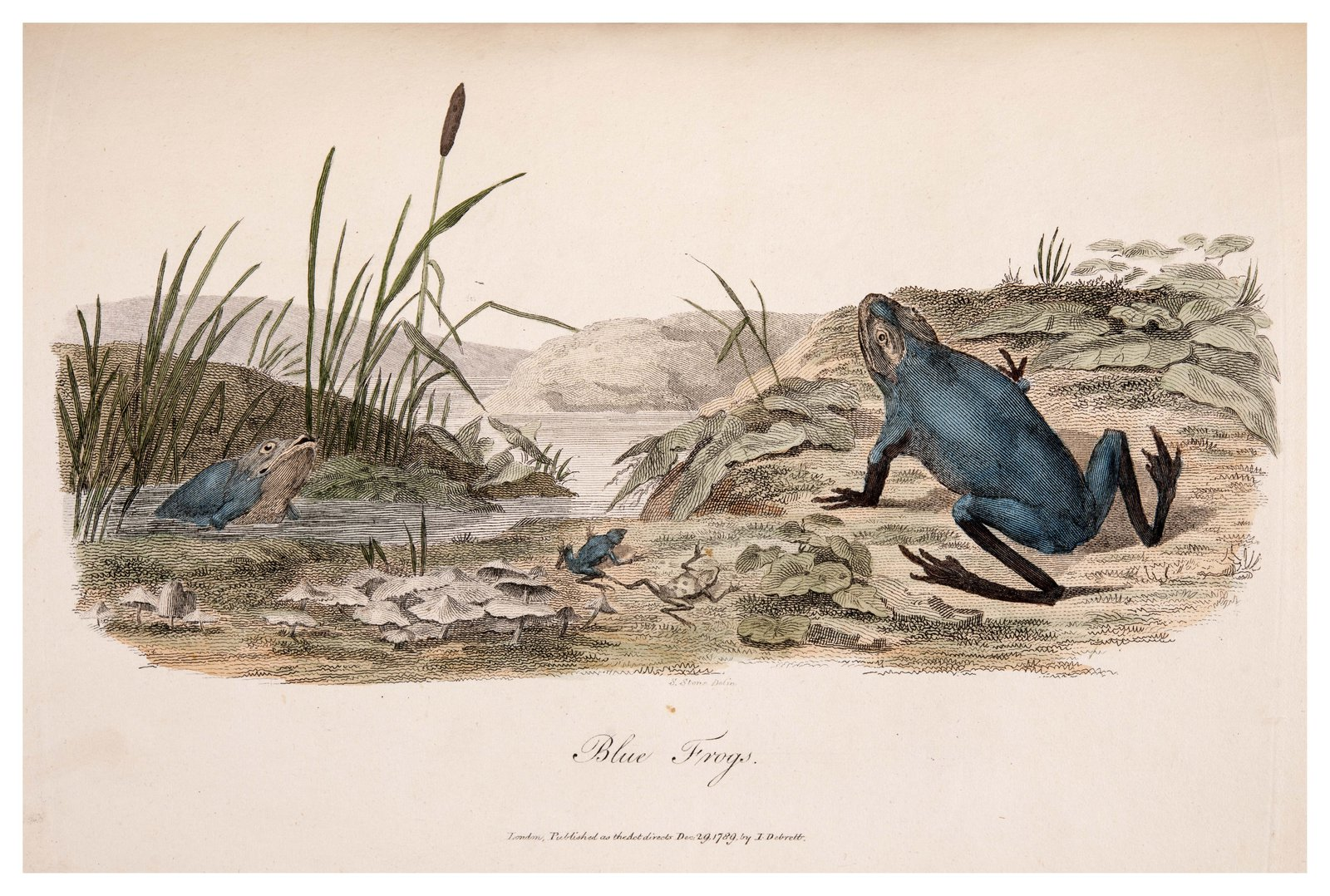 Blue Frog illustration by Sarah Stone