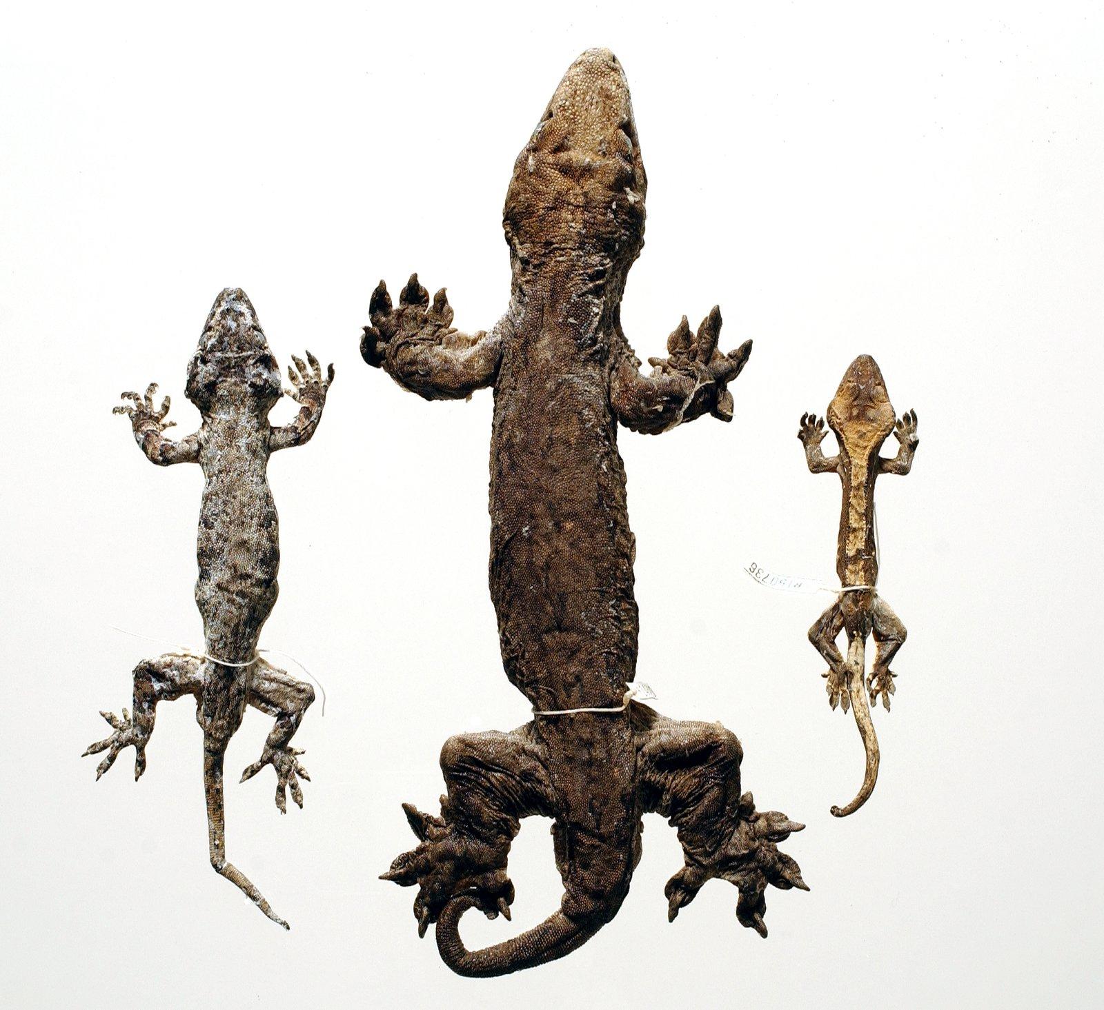 Giant Geckos