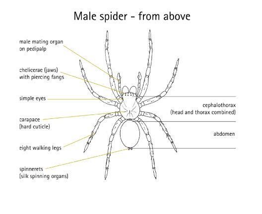Diagram of Male Spider