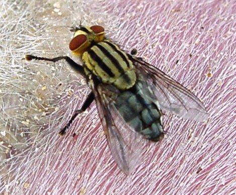 Flesh flies - Family Sarcophagidae