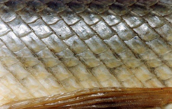 Ganoid scales of the Florida Gar, Lepisosteus platyrhincus.