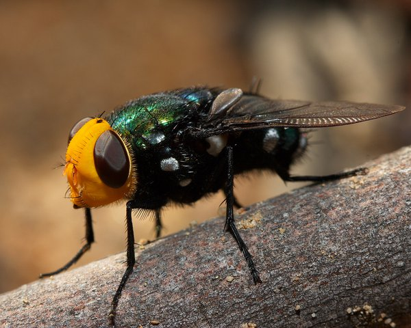 Snail Parasitic Blowfly - Roz Batten