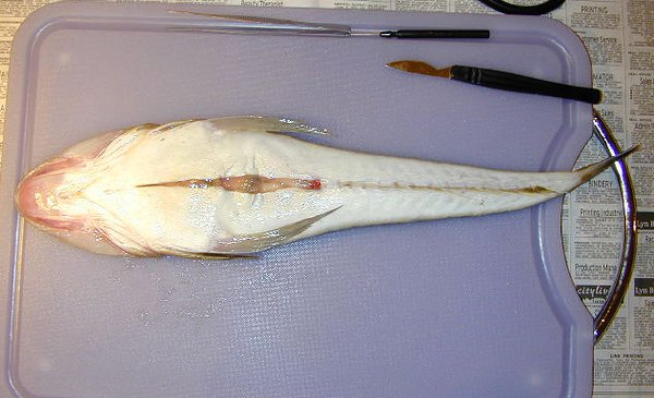 First Incision - Dissection of an Eastern Blue-spotted Flathead