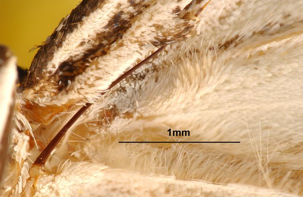 Frenulum of a moth