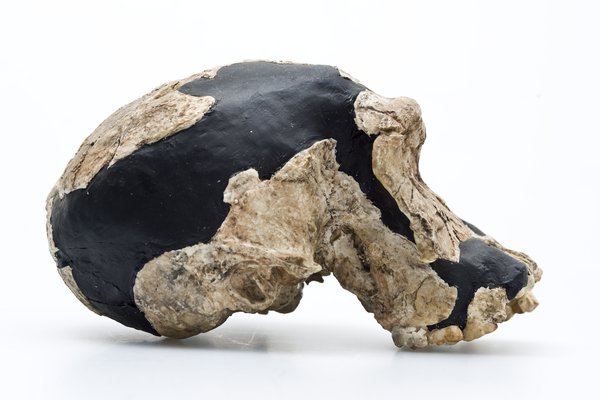 Homo habilis skull side view