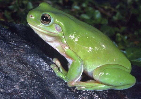 Green Tree Frog, Litoria caerulea