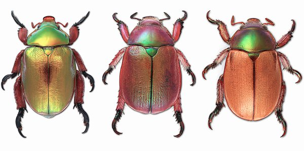 Christmas beetles