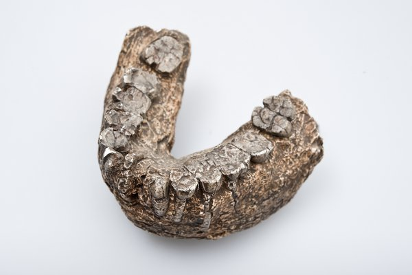 Paranthropus boisei, lower jaw bone