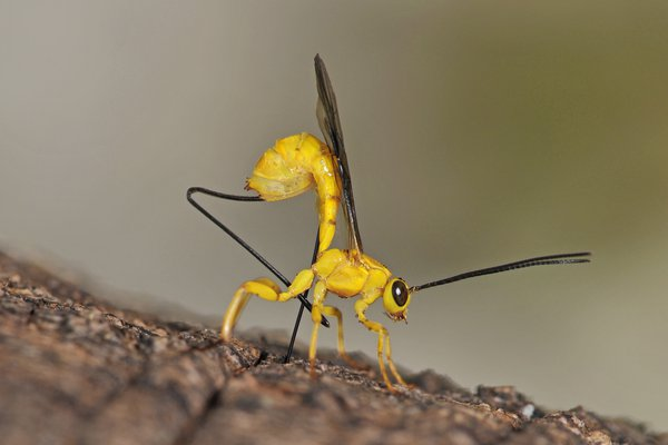 Yellow parasitic wasp - Angela Reid-Robertson
