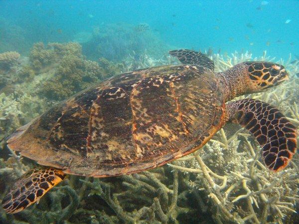 Green turtle, Lizard Island