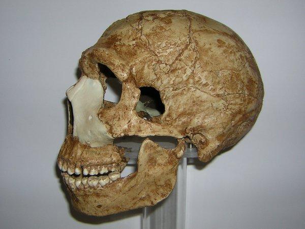Skull cast side Homo neanderthalensis Amud 1