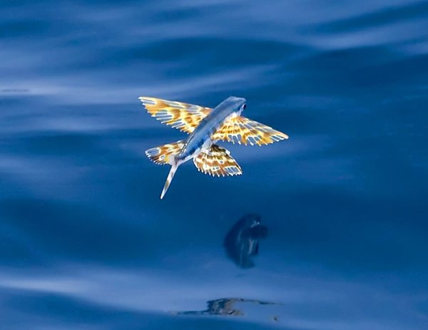 Yellow-wing Flyingfish, Cypselurus poeciliopterus