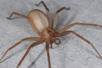 Brown Recluse Spider -UCR