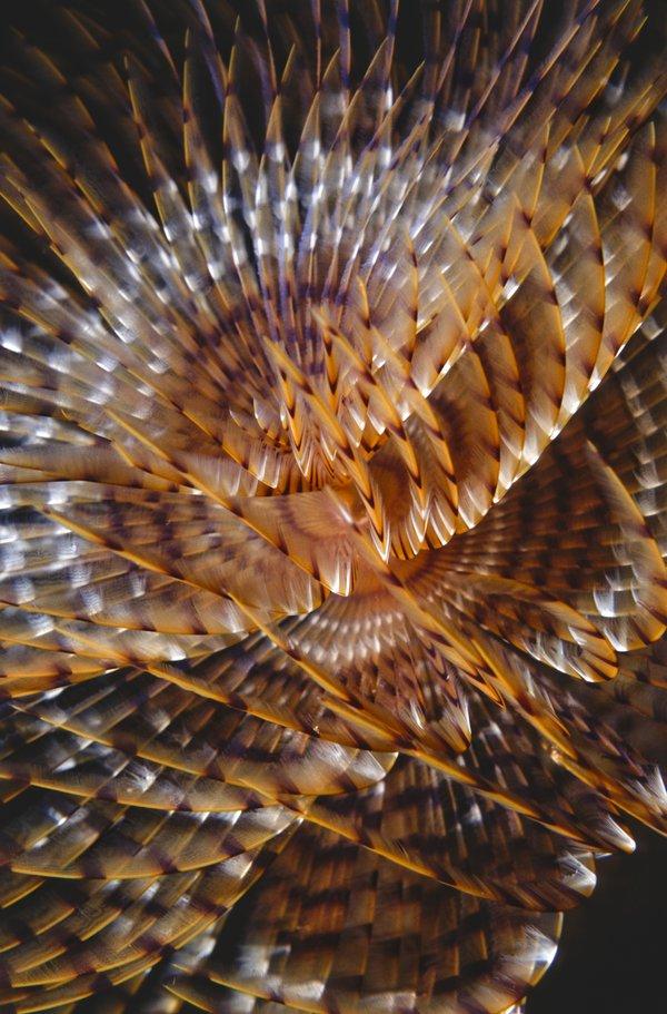 Feather Duster Worm - Erik Schlogl
