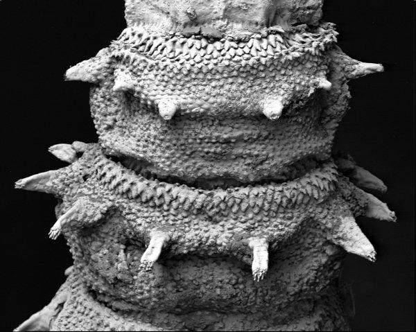 Hairy maggot