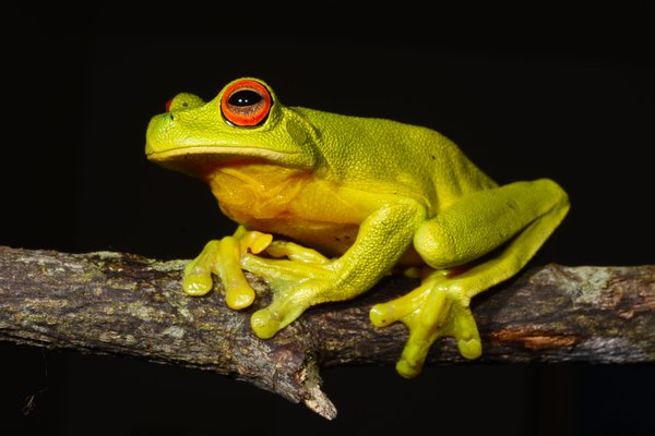 Australian Red-eyed Tree Frog