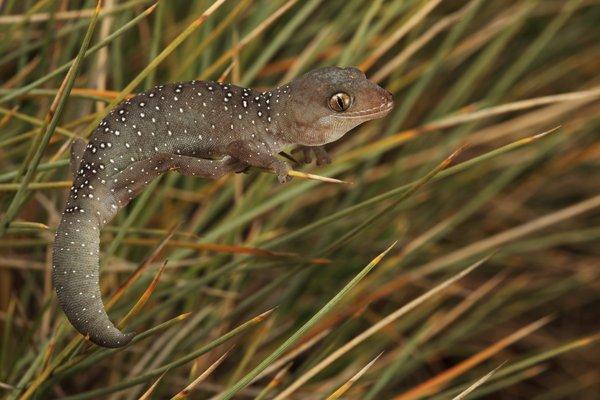 Jewelled Gecko, Strophurus elderi