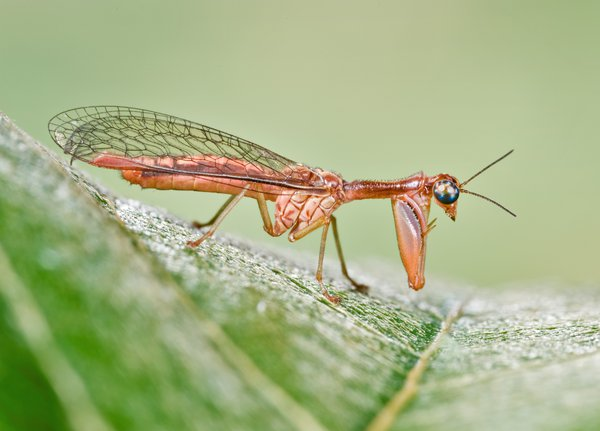 Mantis Fly - Denis Crawford