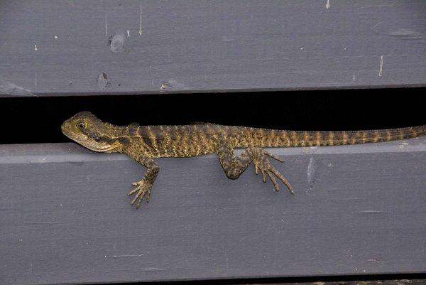 Eastern Water Dragon Juvenile