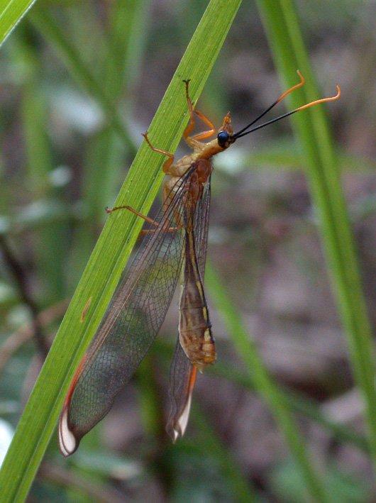 Nymphes myrmeleonides