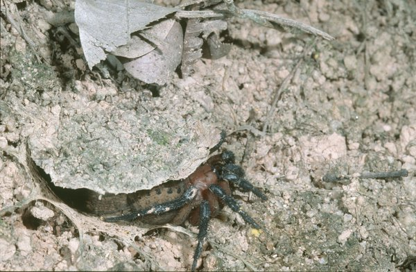 Segmented spider emerging from burrow